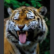 "Abzug Fotografie ""Tiger"""