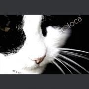 "Abzug Fotografie ""Katze Black & White"""