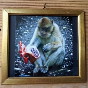 "Fotografie ""Berberaffe in Gibraltar"" in antikem Holzrahmen"